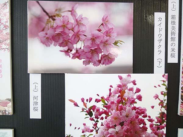 桜咲く-6