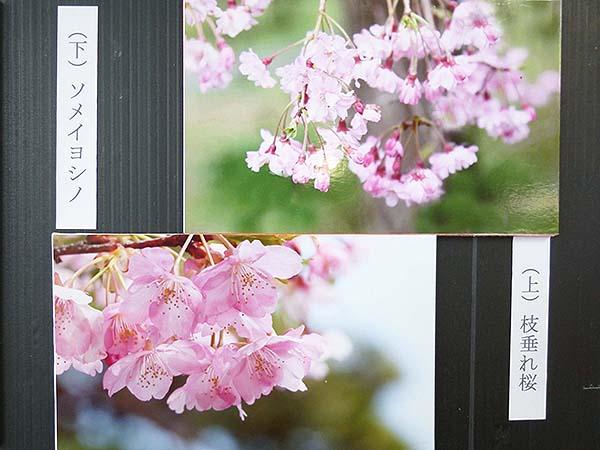 桜咲く-8