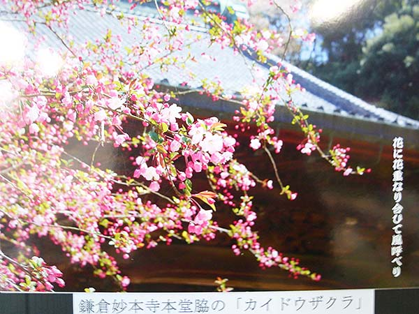 桜咲く-9
