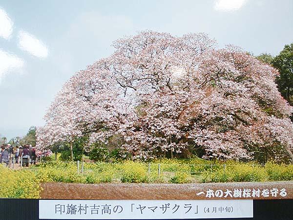 桜咲く-10