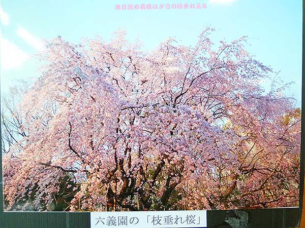 桜咲く-11
